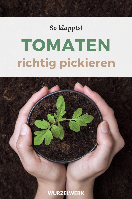 Super Vitale Tomaten Vorziehen Tomaten Anzucht Im Haus In 2020 Tomaten Garten Gemuse Pflanzen Garten Hochbeet
