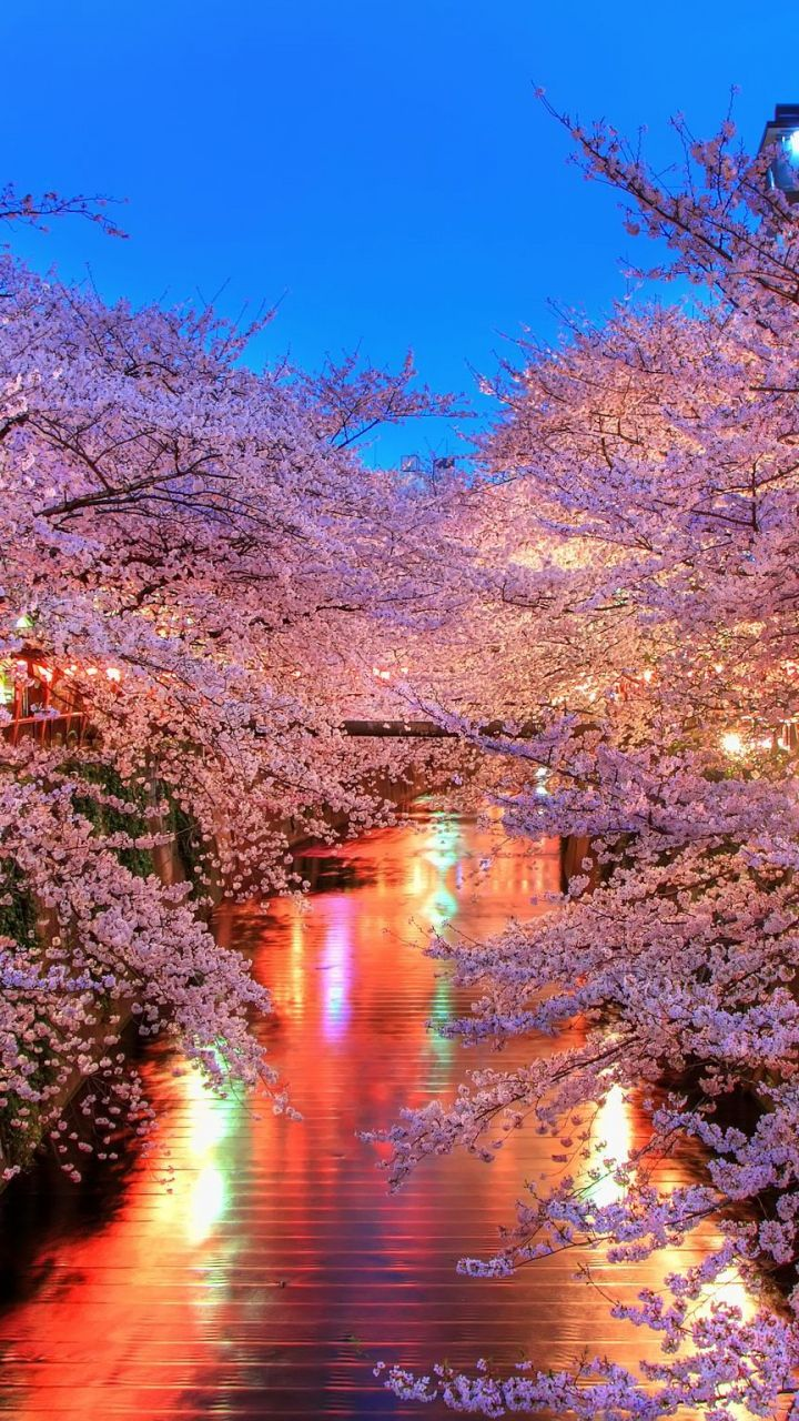 720x1280 Wallpaper O Hanami Blossom Sakura Japan Photos Paysage Paysage Paysage Fantastique