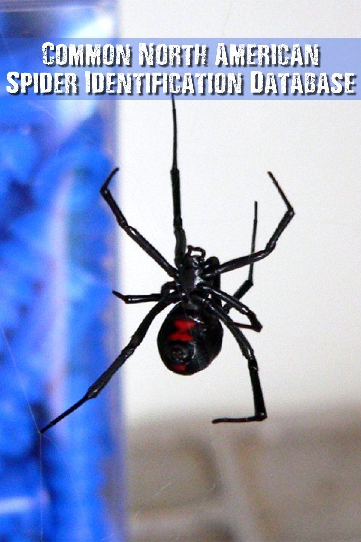 Common North American Spider Identification Database