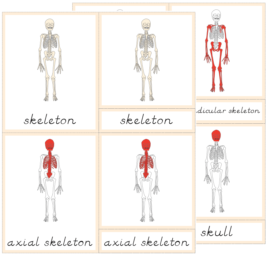 the helpful garden: parts of the skeleton nomenclature cards with, Muscles