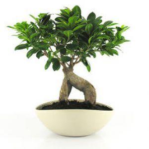Ficus retusa : un bonsaï facile d\'entretien