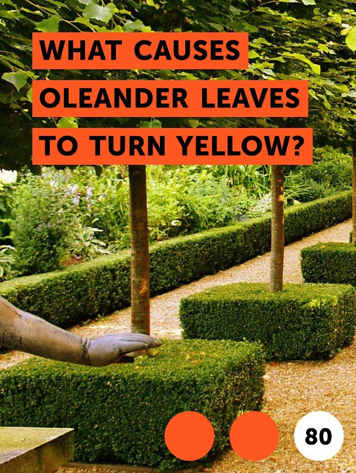 What Causes Oleander Leaves to Turn Yellow? Cucumber