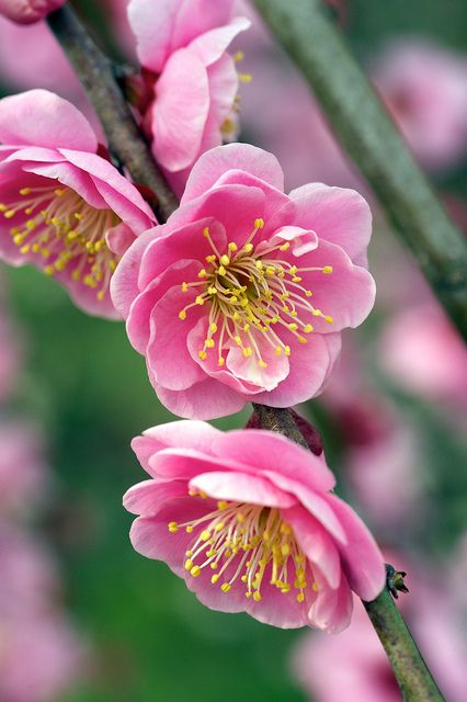 Plum Blossoms Pretty Flowers Chinese Flowers Flowers