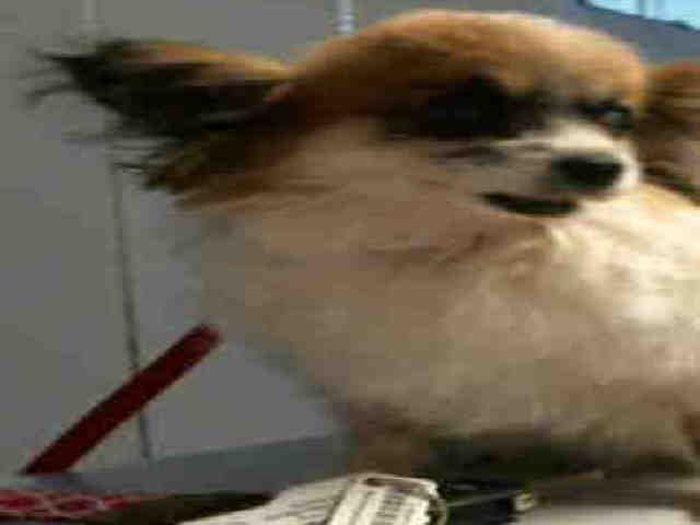 Chion dog for Adoption in Plano, TX. ADN-510554 on PuppyFinder.com Gender: Female. Age: Senior