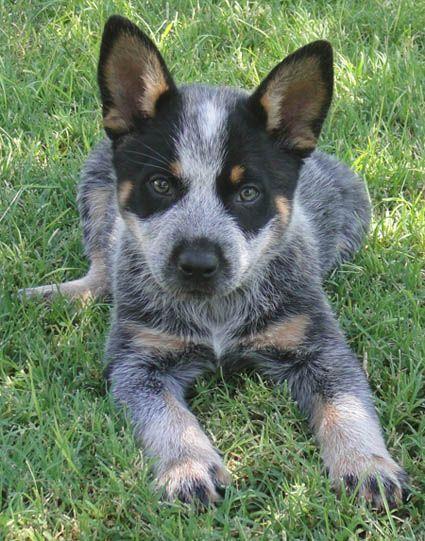 Geno 2 Queensland Heeler Blue Heeler Dogs Aussie Cattle Dog