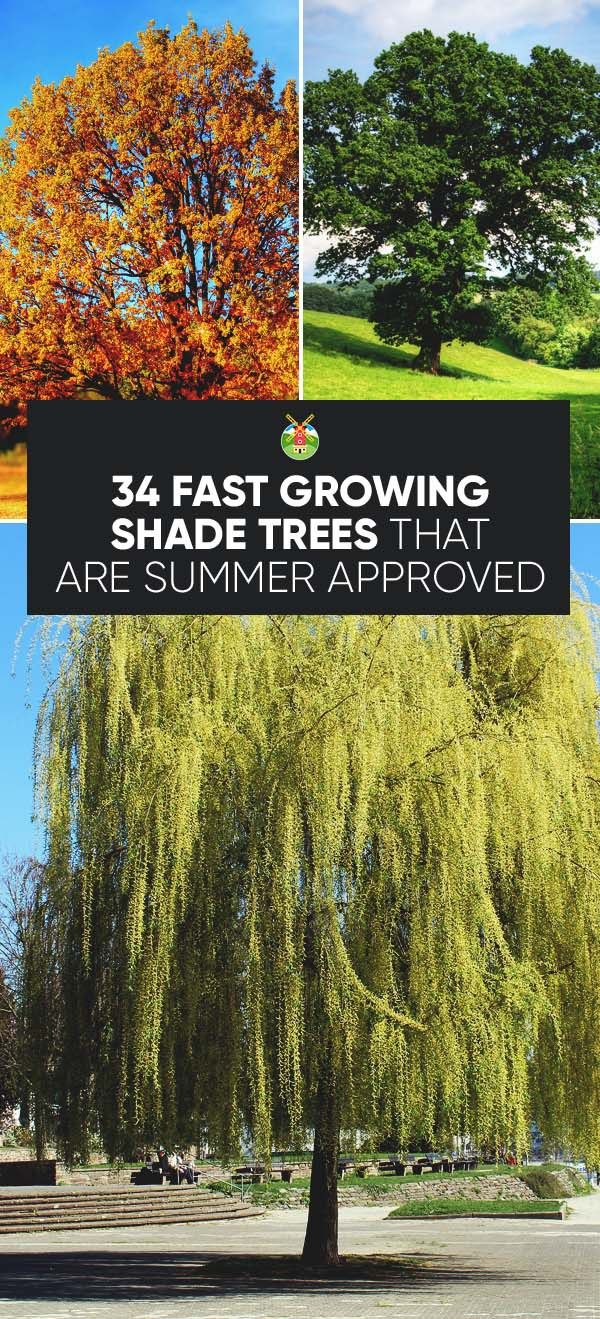 34 Fast Growing Shade Trees That Are Summer Approved Fast
