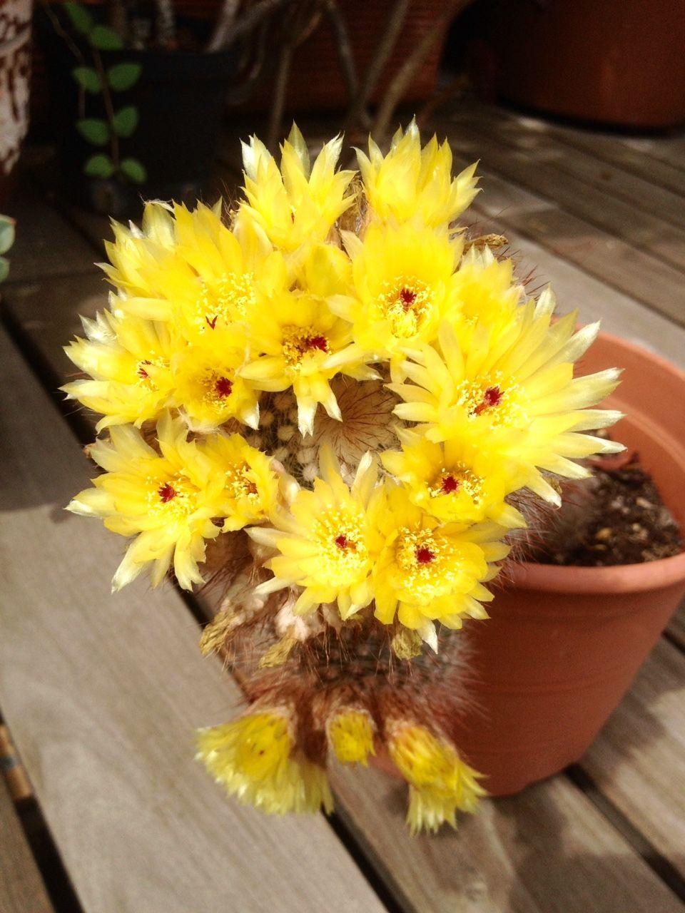 Floración del cactus Parodia