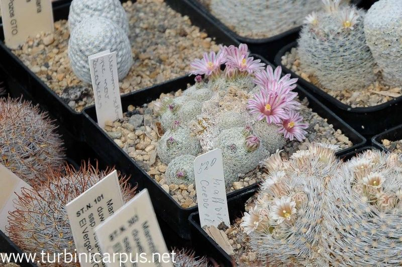 Mammillaria - Mammillaria hermosana