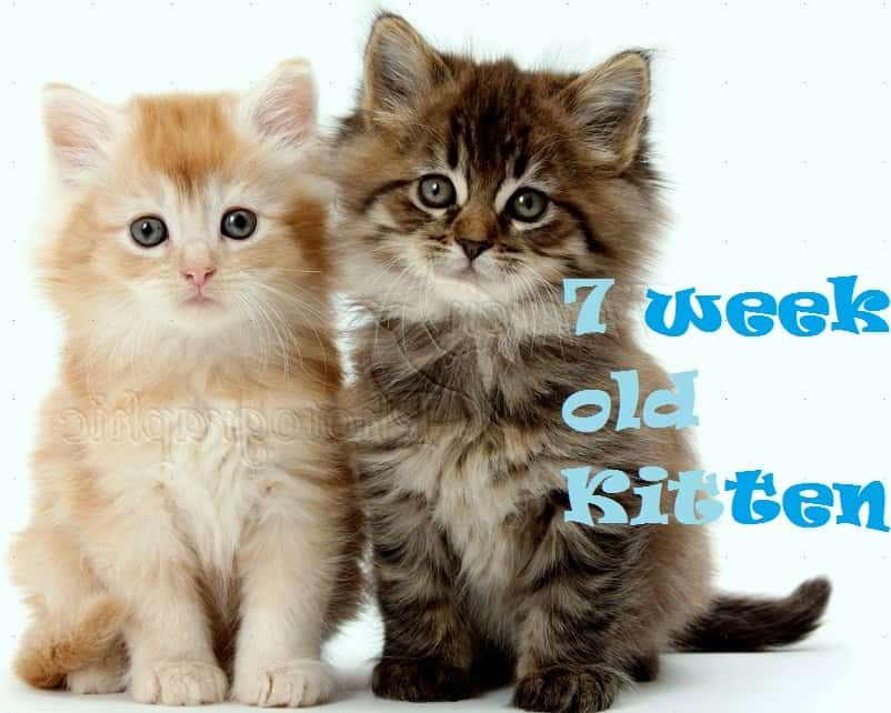 7 Week Old Kitten Care Tips Kitten Care Kittens Training A Kitten