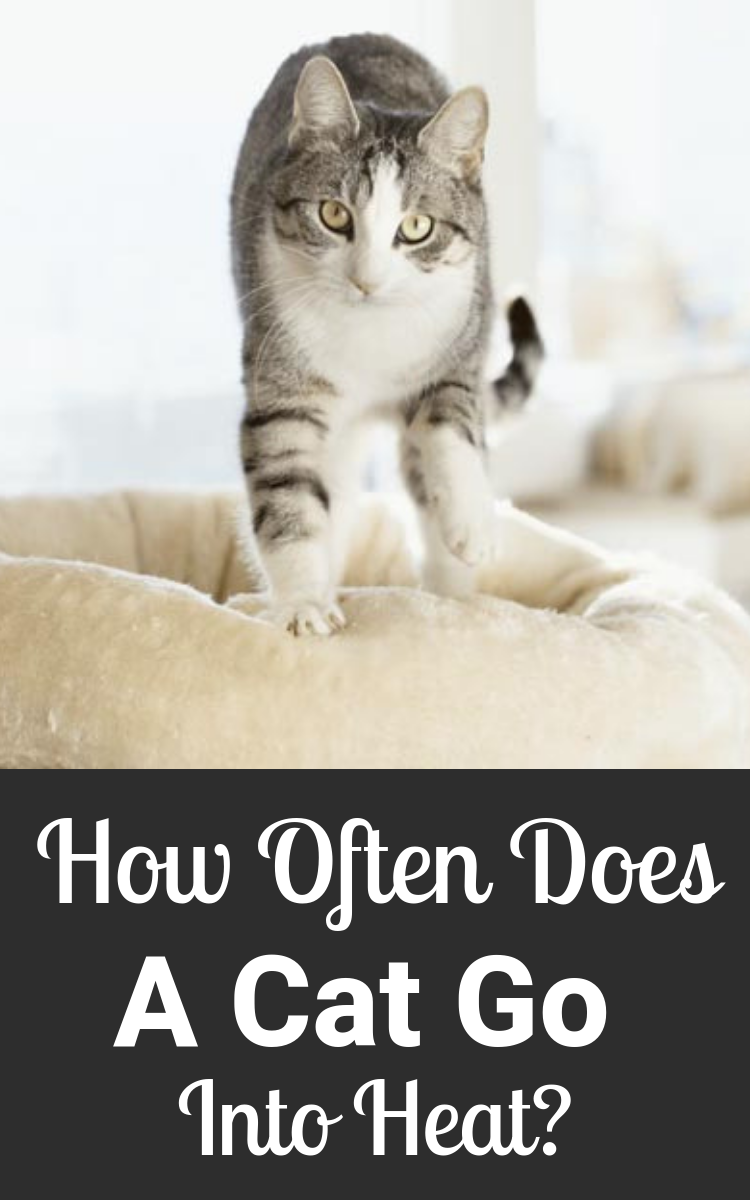 How Often Does A Cat Go Into Heat Cats Cat In Heat Cat Health
