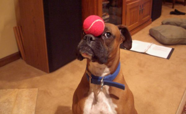 boxer with ball sky-seal