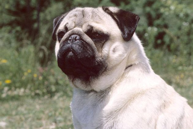 13 Apartment Friendly Dog Breeds Friendly Dog Breeds Pug Breed