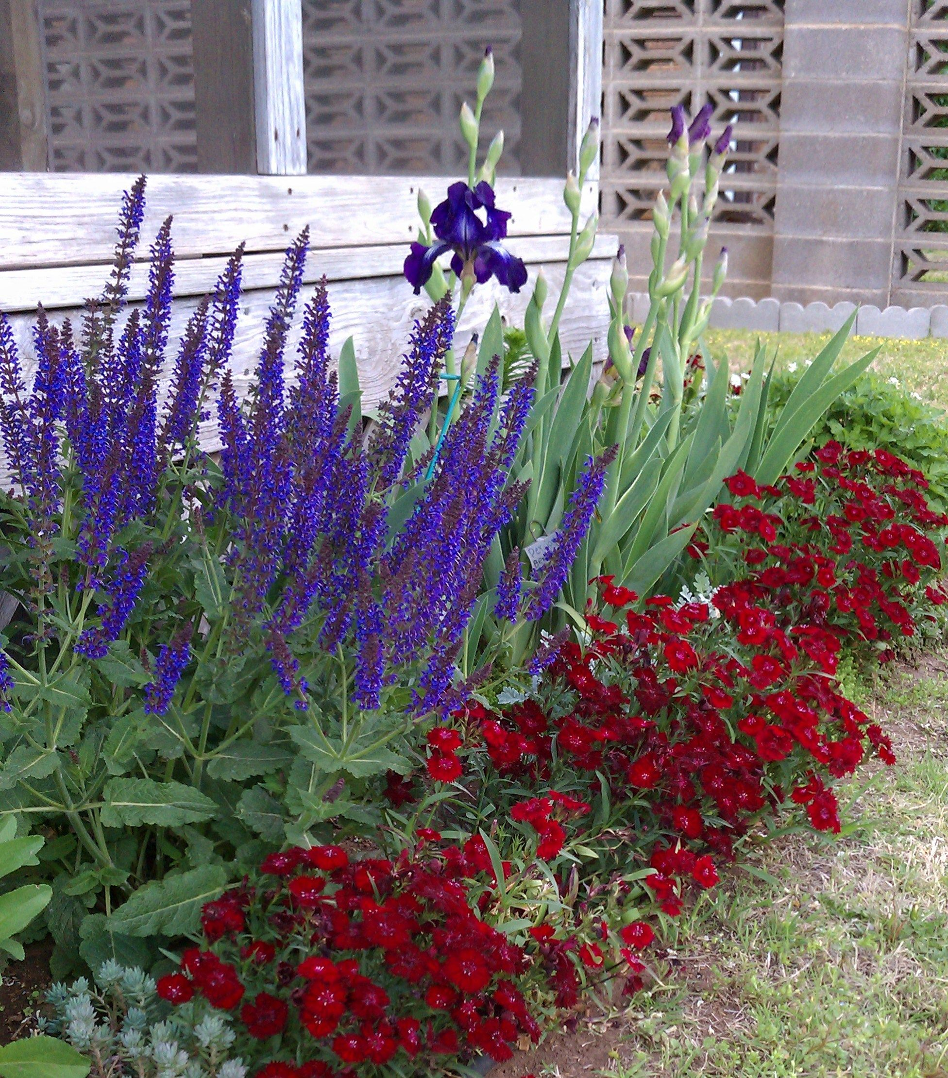Red Dianthus Maynight Salvia And Iris Shade Tolerant Plants