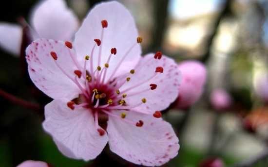 Close Up Cherry Blossom Google Search Cherry Blossom Flowers White Cherry Blossom