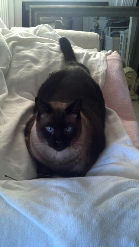 A Seal Point Siamese Is My All Time Fav With Images