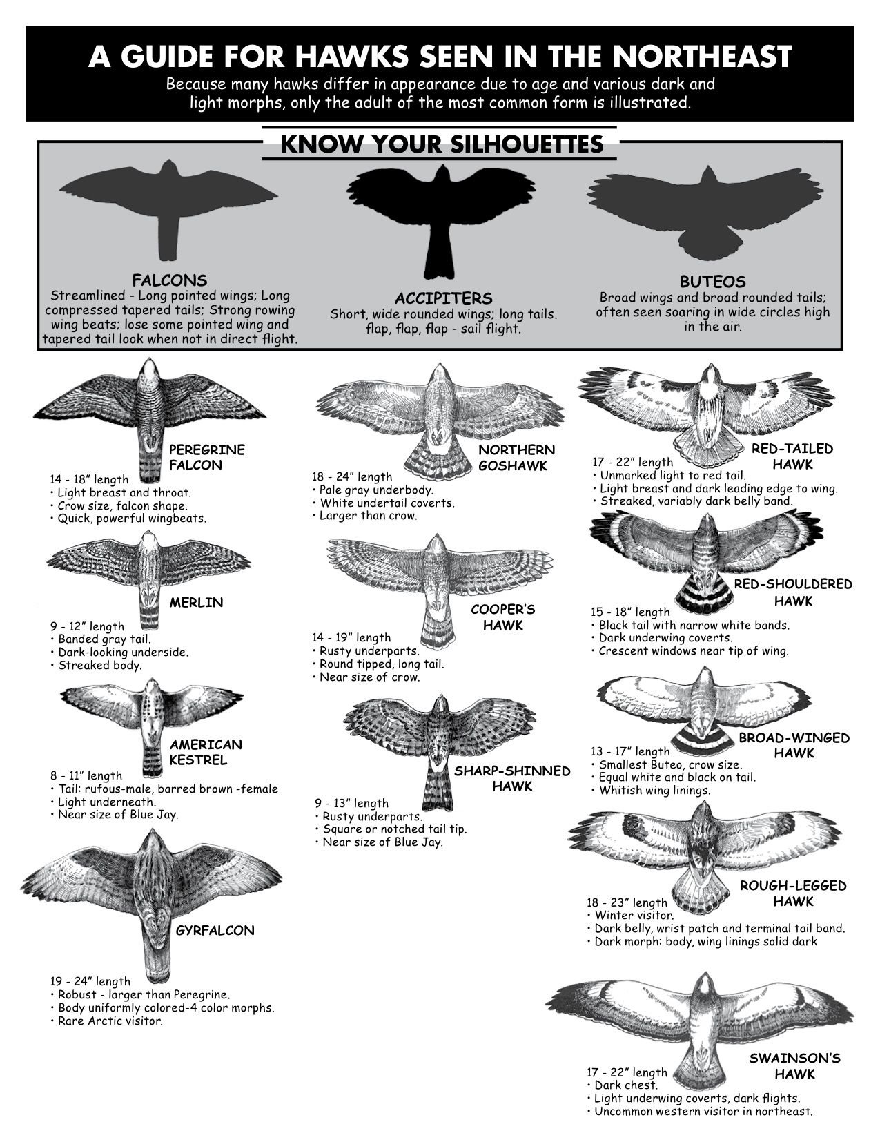 Hawk Identification Guide From Hawk Migration Association Of North America Click And Download Your Own Backyard Birds Birds Of Prey Beautiful Birds