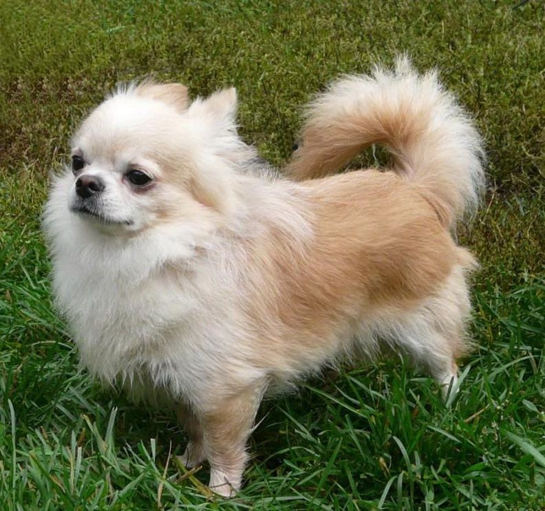 Different Types Of Chihuahuas Alldogsworld Com Types Of