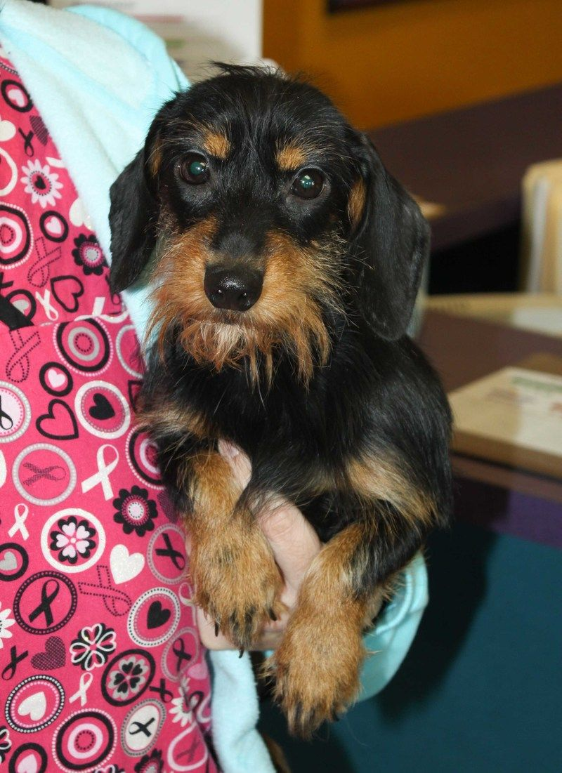 Adopt Redwood On Dachshund Dog Animal Rescue Dachshund