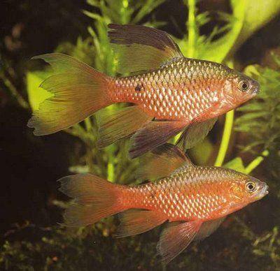 Long Fin Rosy Barb Not Aggressive Keep Males And Females Beautiful Cs Akvariumnaya Rybka Akvarium Zhivotnye