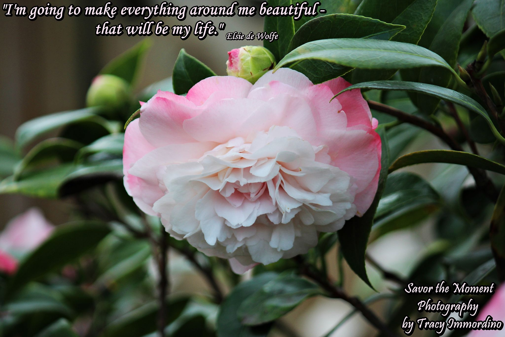 pink camellia savor the moment photography by tracy immordino