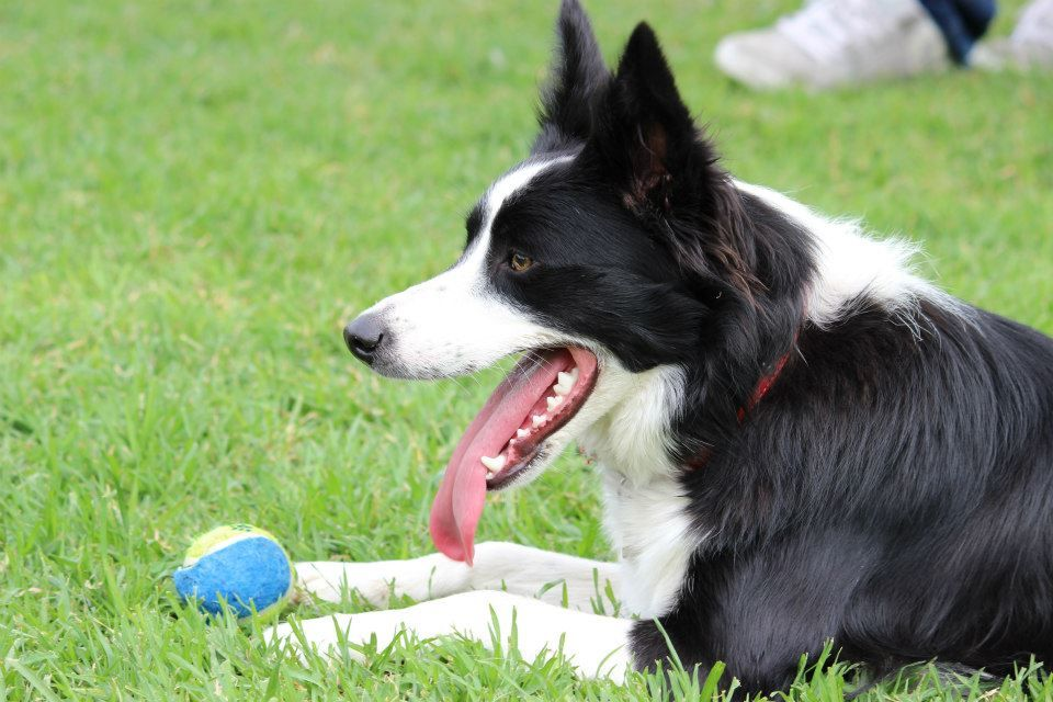 The Two Ball Game Or How I Wear Out My Border Collie In 15 20
