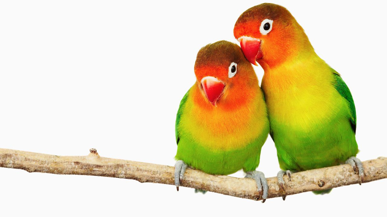 Pair A Social Networking App Just For Couples Love Birds Pet