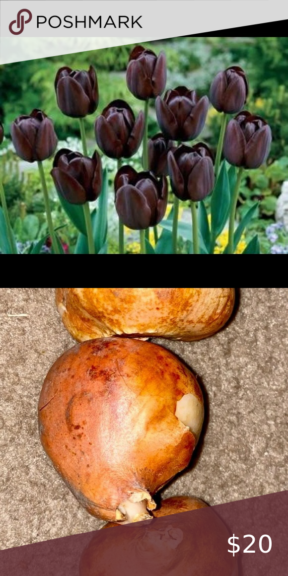 Tulip Single Late Queen Of The Night In 2020 Bulb Flowers Tulips Tulips Flowers
