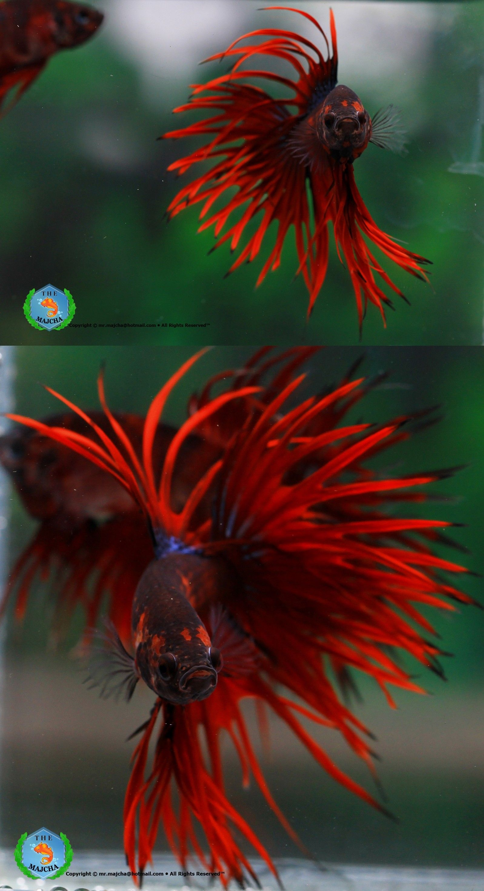 Betta Fish Facts | Fancy, Betta and Fish