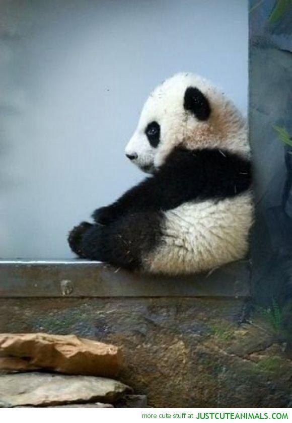 Baby panda!! So cuuuute
