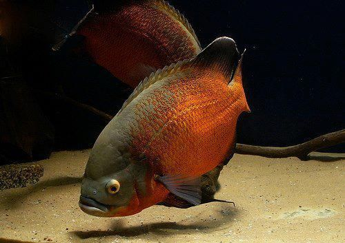 Copper Oscar I Have One Of These Beautiful Fish He Has So Much Personality Deffinitly One Of My Faves Ikan Akuarium Ikan Tropis Ikan