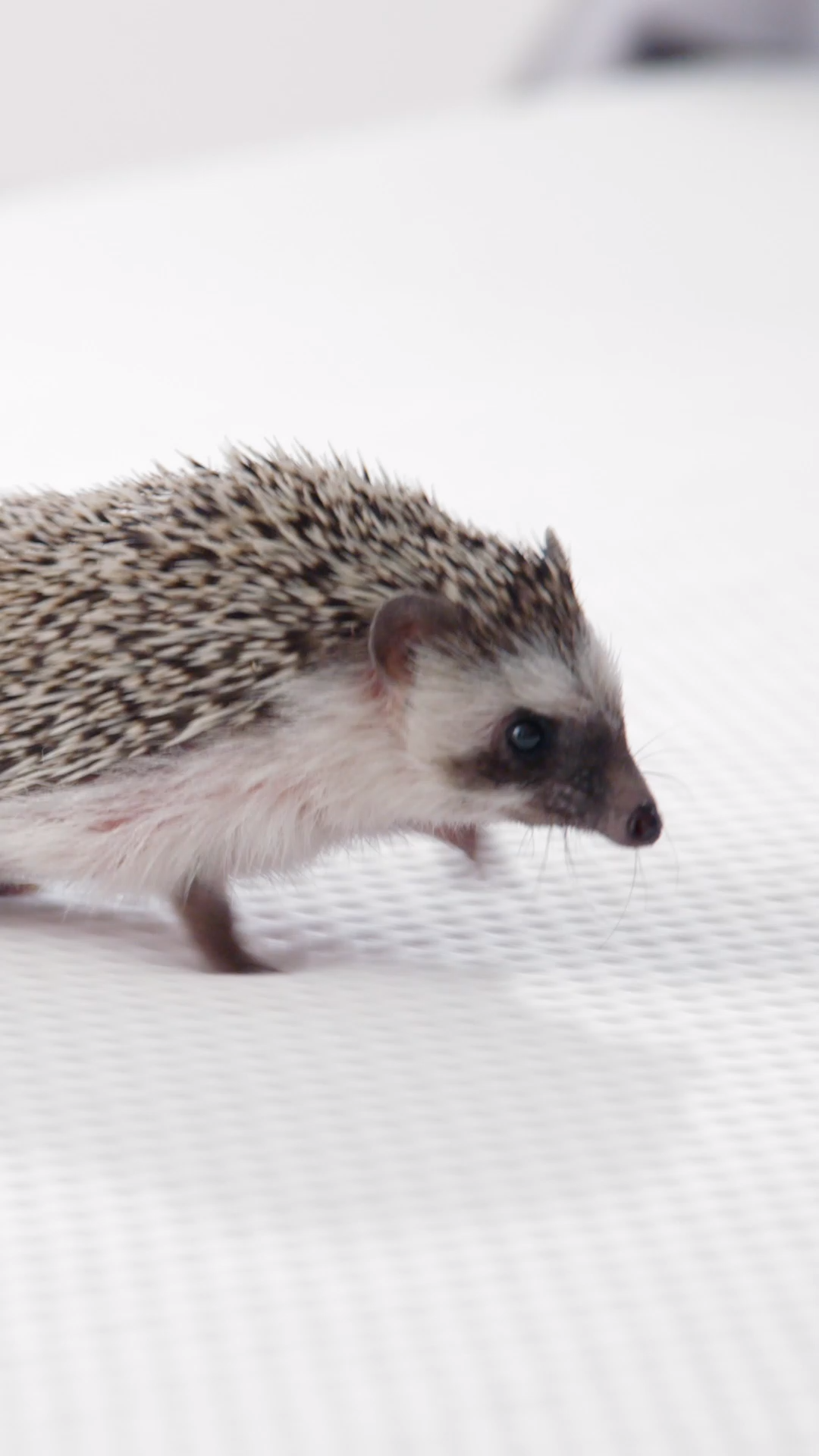 This hedgehog rated the Casper mattress 10/10*  *Based on
