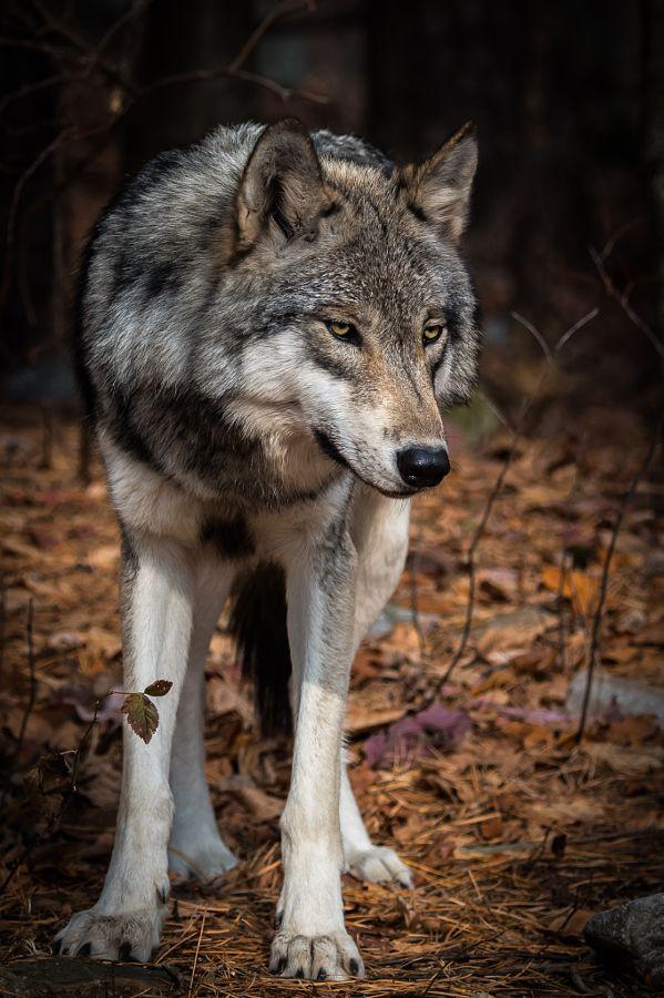 "wolvenrealm: "" Standing By by Matthew Krausmann """