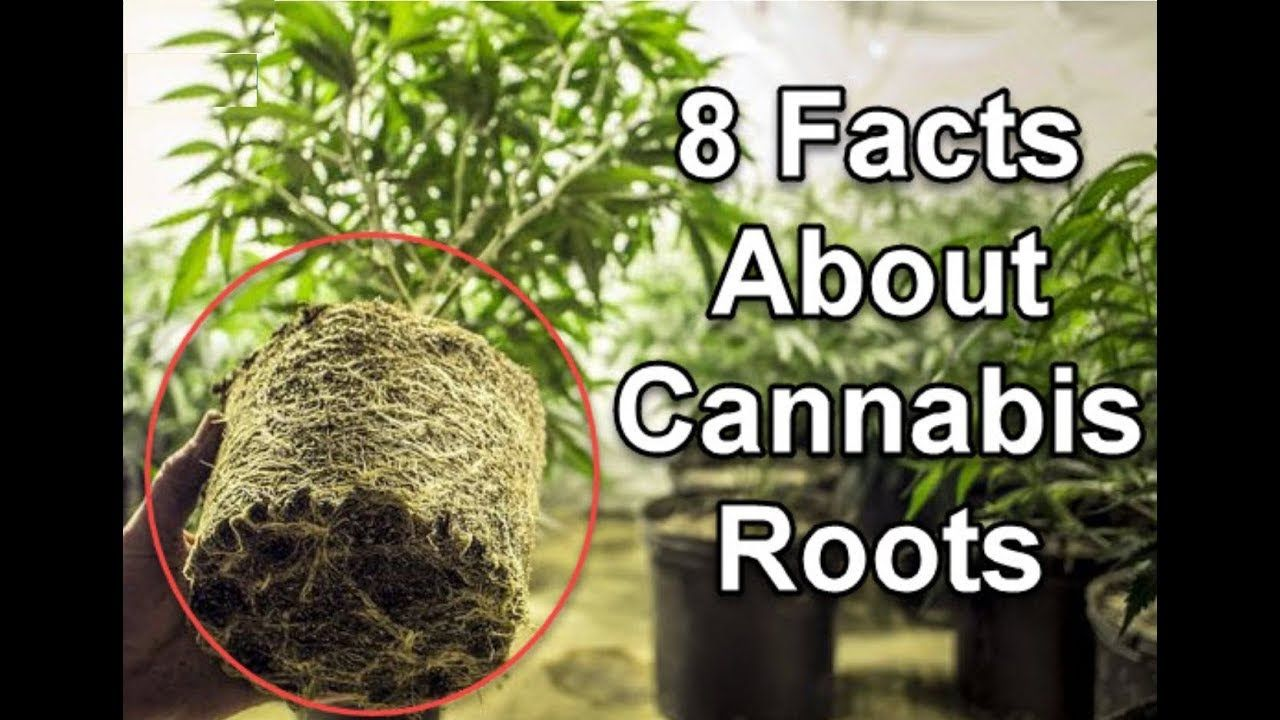 8 Facts About Cannabis Roots That You Never Knew Before