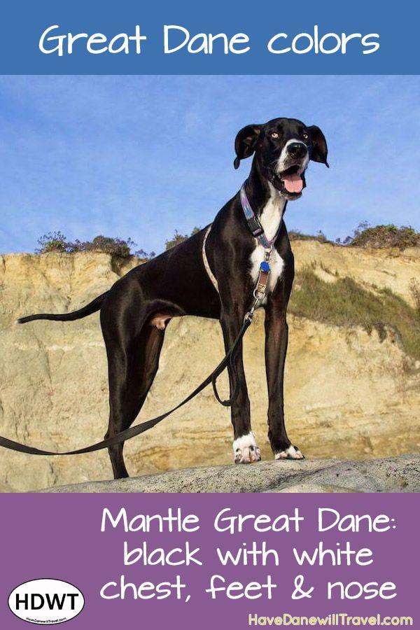 A Great Dane Coat Of Many Colors Mantle Great Dane Great Dane