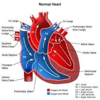 Heart Diagram | Science Diagrams | Pinterest | Heart diagram