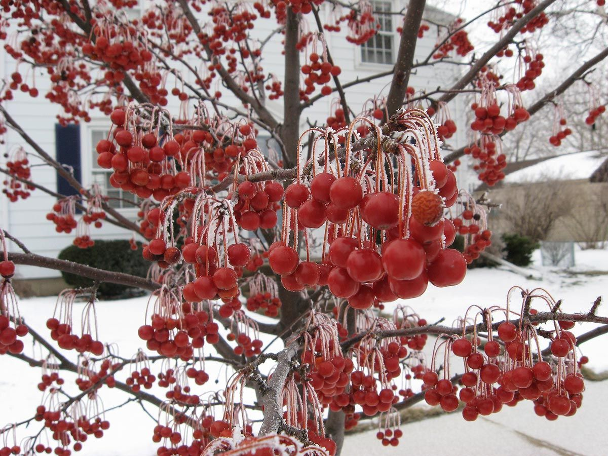 Crabapple tree (Red Jewel variety) with frost in Racine, Wisconsin ...