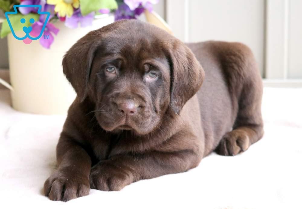 Meatball Labrador Retriever Chocolate Puppy For Sale Keystone Puppies In 2020 Labrador Puppies For Sale Lab Puppies Cute Labrador Puppies