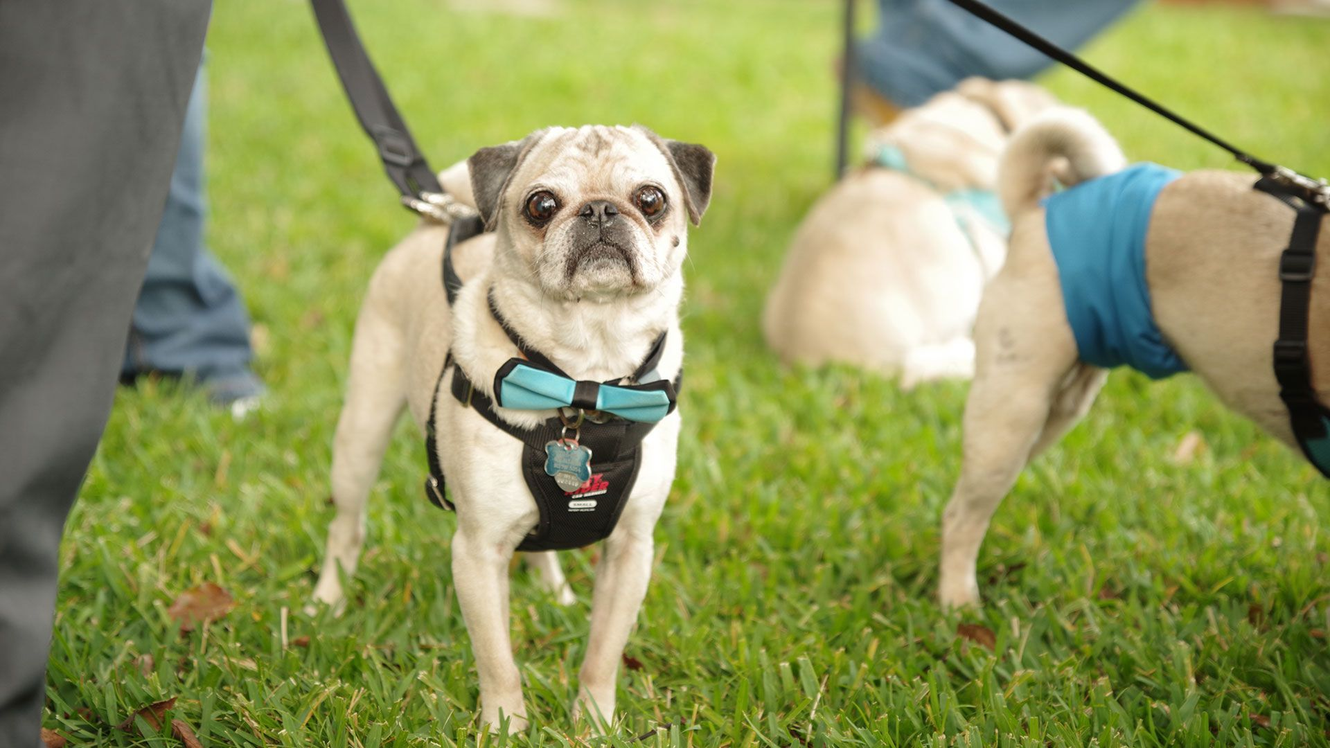 Bridesmaids Ditch Bouquets For Rescue Pugs To Honor Florida