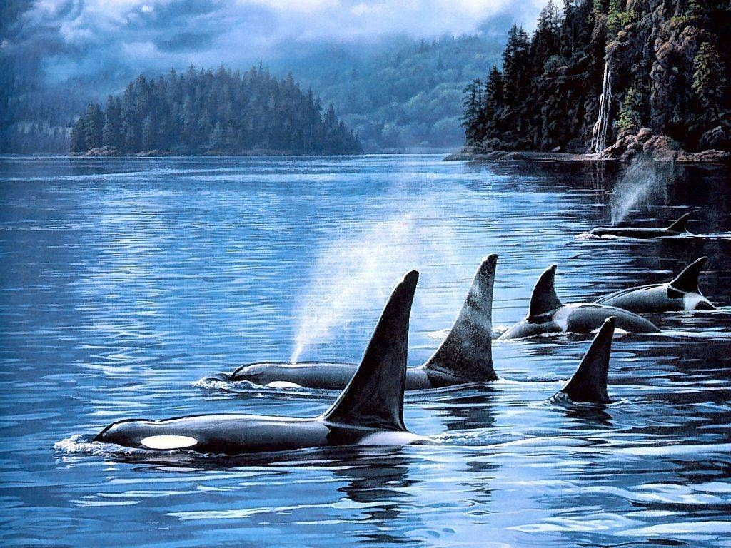 377397 tropical fish underwater sea life pod of orca whalesg undefined pictures of killer whales wallpapers wallpapers altavistaventures Images