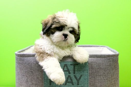 Shih Tzu Puppy For Sale In Portsmouth Oh Adn 27492 On Puppyfinder Com Gender Male Age 9 Weeks Old Shih Tzu Puppy Puppies Puppies For Sale