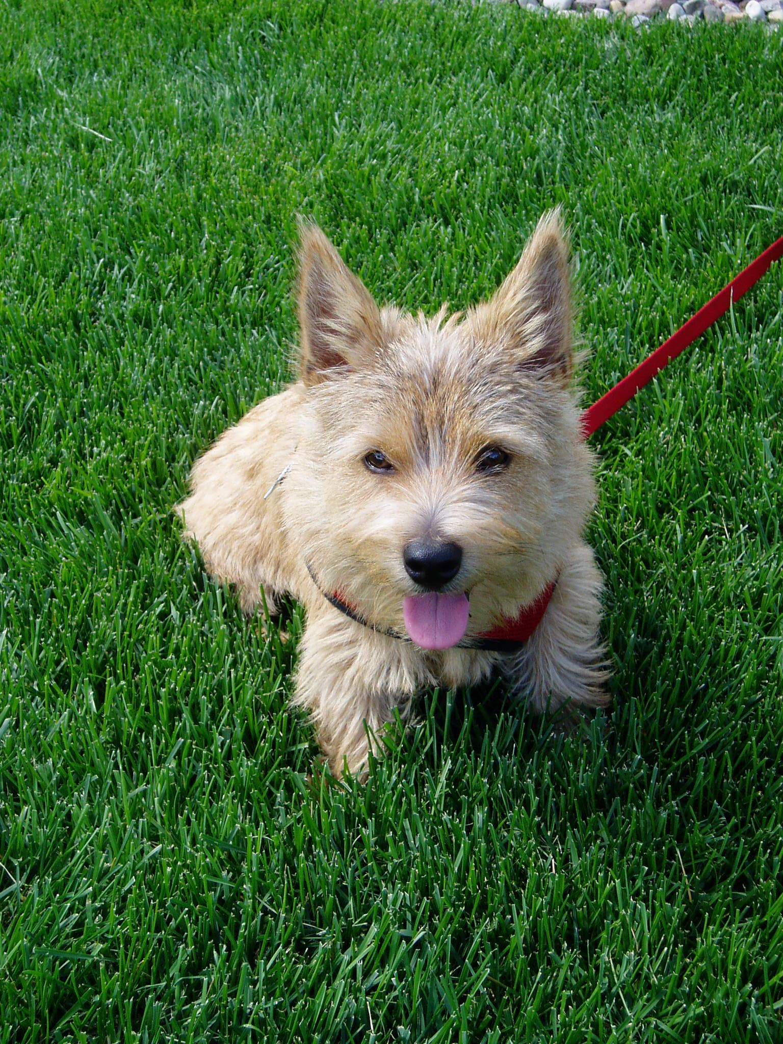 Sidney Sidney Our Norwich Terrier As A Puppy Norwich Terrier