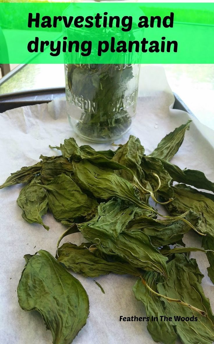 How to Harvest Plantain Leaves