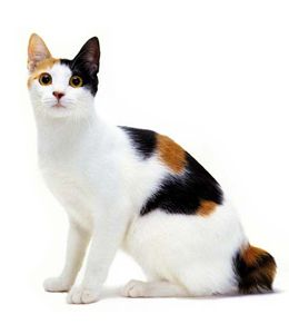 Japanese Bobtail - looks very much like my Cali except she ...