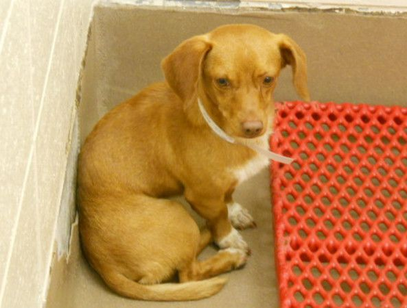 Pet Of The Day Adorable Dachshund Dacula Ga Patch Pets