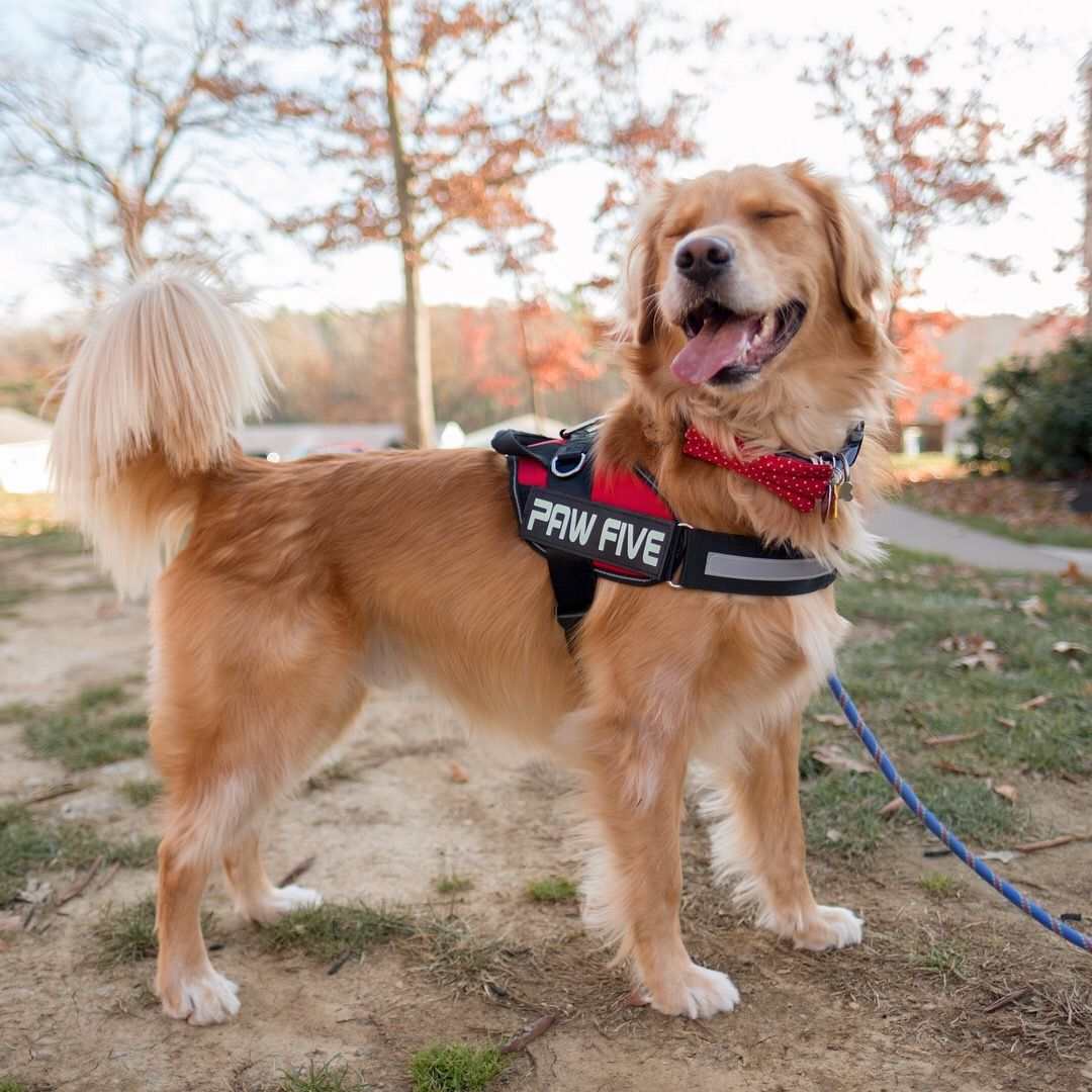 Core 1 Harness Easy Walk No Pull Dog Harness Golden Retriever