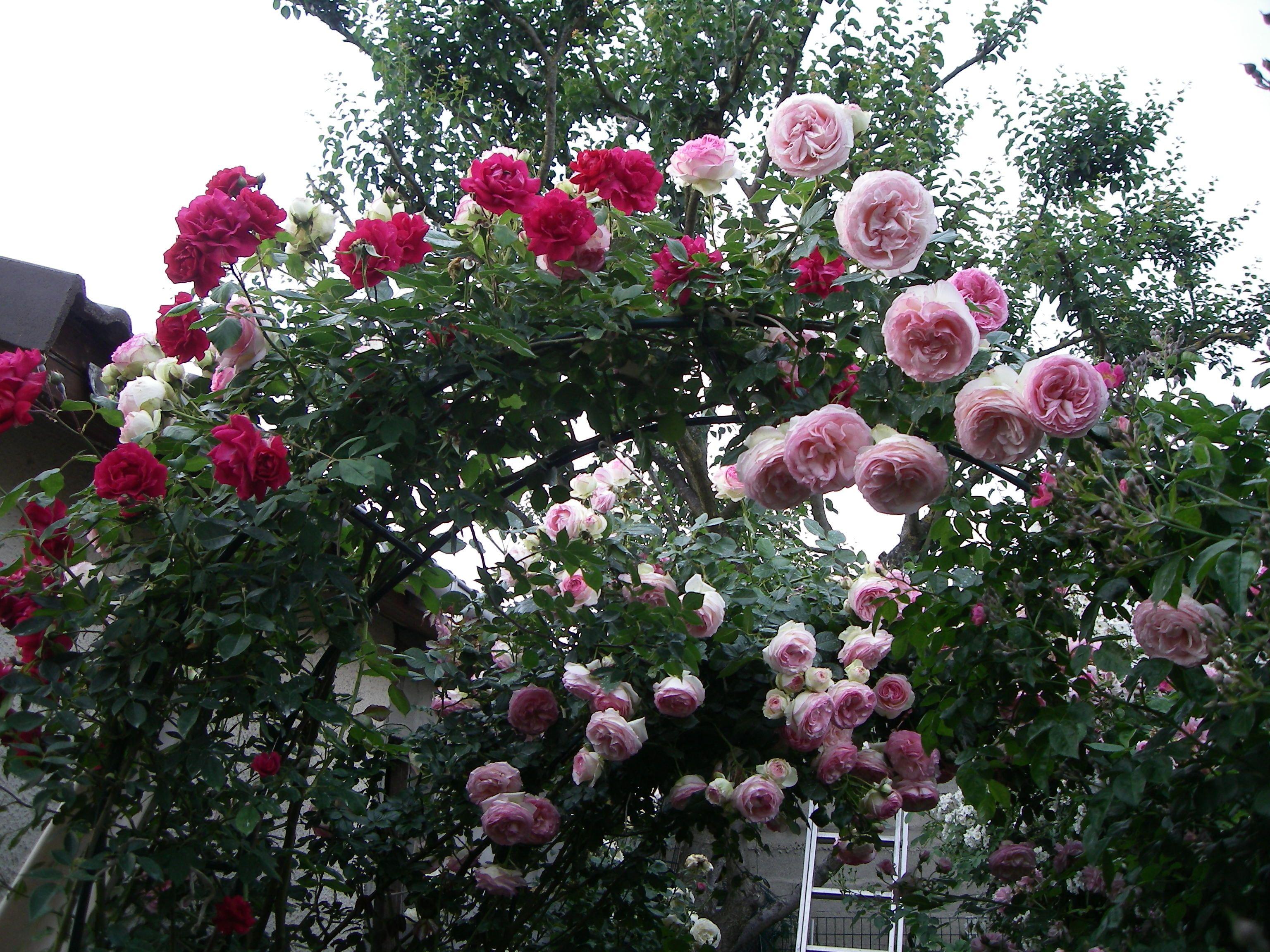 Pierre de Ronsard, rosier grimpant rouge Rose, Plants