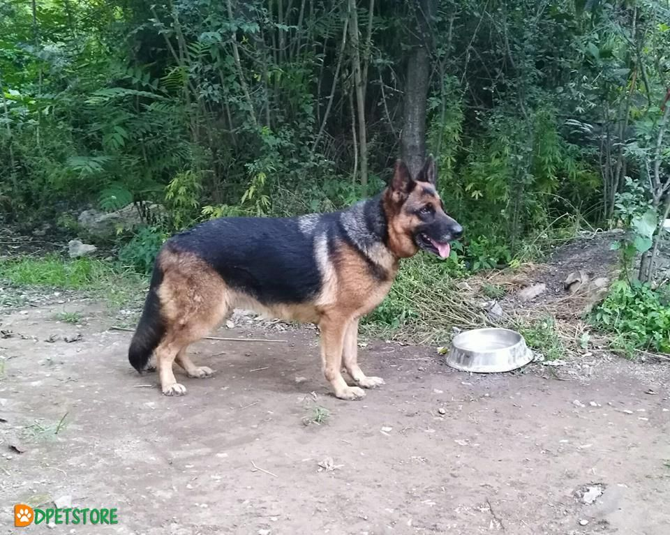 Gsd Non Pedigree Breeder Female For Sale Breeders Gsd Dogs For Sale