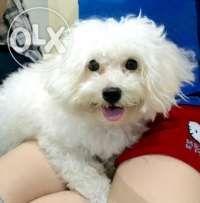 Stud Maltese Cainta Marikina Marcos Pets For Sale Pets Animal
