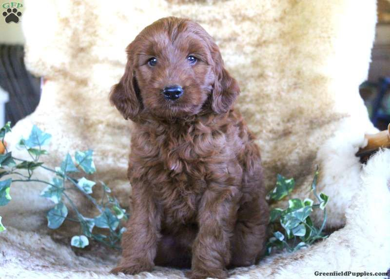 Hitch Miniature Irish Doodle Puppy For Sale In Pennsylvania Irish Doodle Doodle Puppy Mini Puppies
