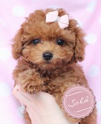 Toy Poodle Puppy For Sale at TeaCups South Florida
